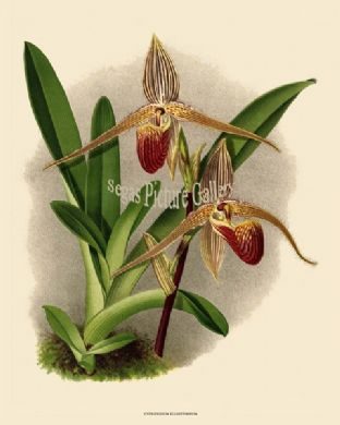 Cypripedium Elliottianum